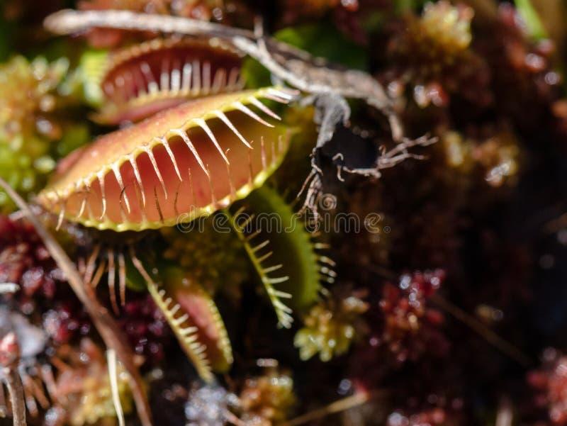 Venus Fliegenfalle erwarten seine folgende Mahlzeit lizenzfreies stockbild
