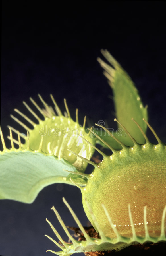 Venus Fly Trap royalty free stock photos