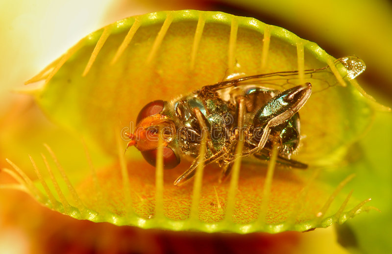Venus fly trap. Fly trapped in venus fly trap stock image