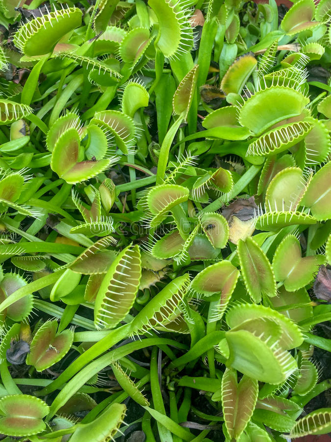Venus fly trap plants. Carnivorous, fly-eating venus fly trap plants royalty free stock photos