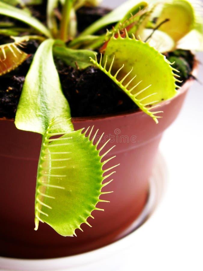 venus flytrap стоковое изображение