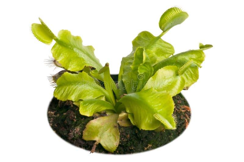 venus flytrap стоковые изображения rf