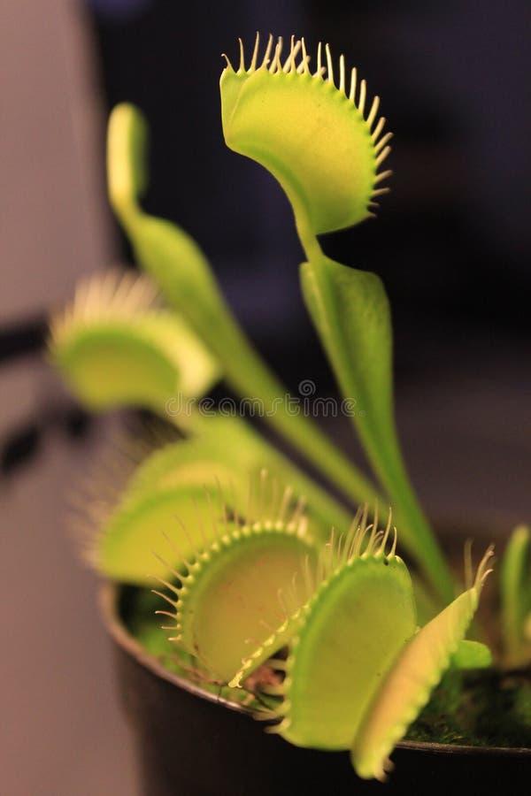 Venus Flytrap stock afbeelding