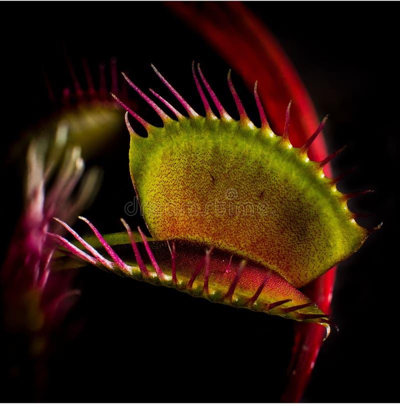 Venus Flytrap fotografering för bildbyråer