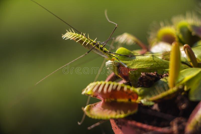 Venus Flytrap caçou a aranha da adega no amanhecer imagens de stock