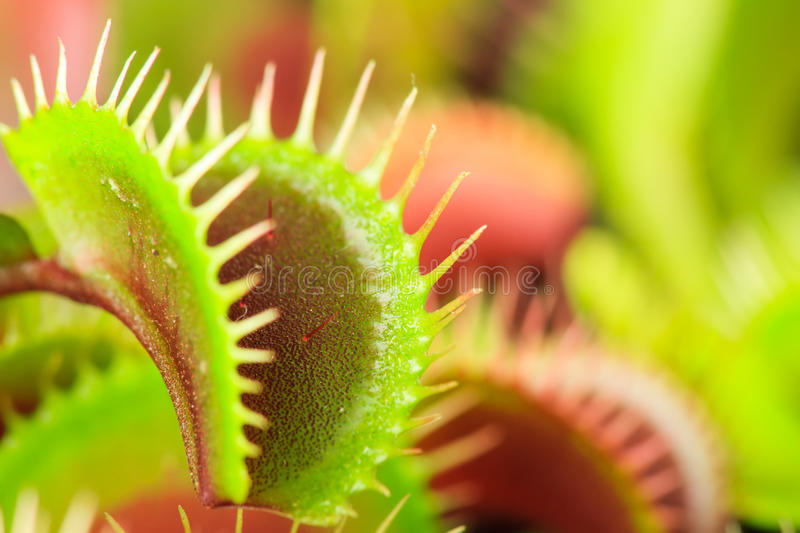 Download Venus flytrap stock photo. Image of closeup, background - 32452276