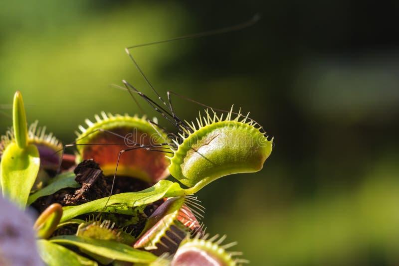 Venus Flytrap cazó la araña del sótano en la madrugada foto de archivo