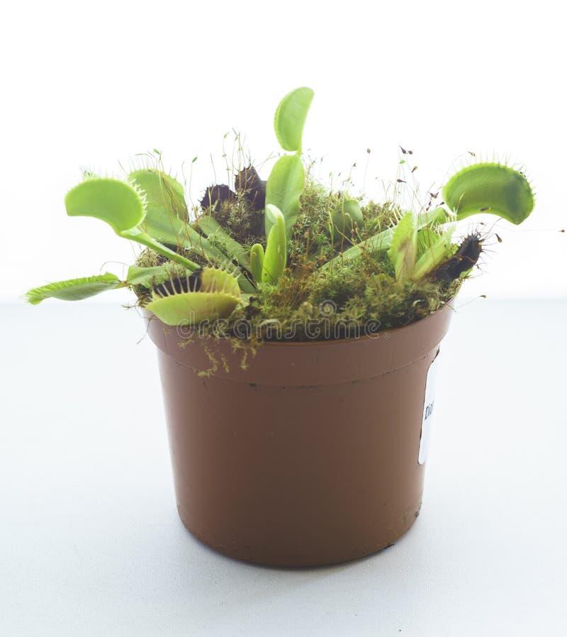 Venus Flytrap despredador en conserva, Dionaea Muscipula imagen de archivo