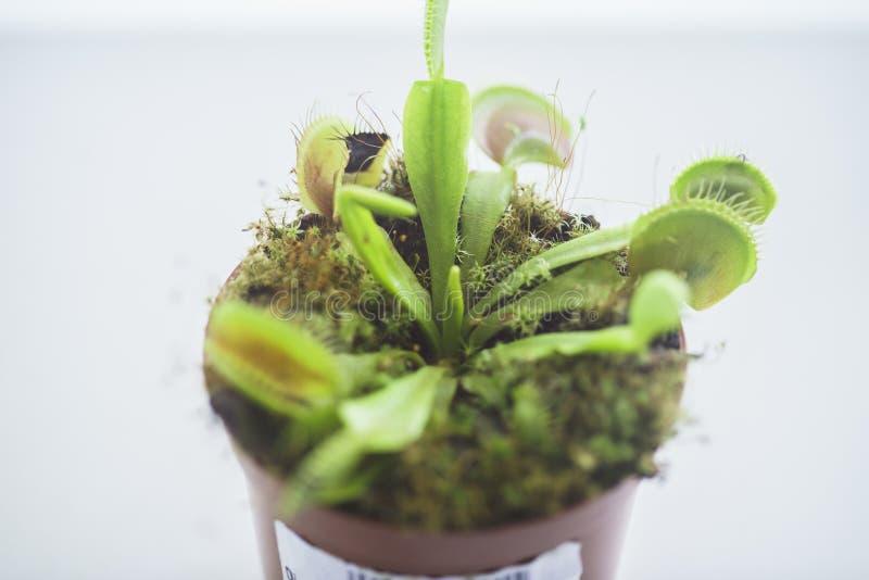 Venus Flytrap despredador en conserva, Dionaea Muscipula fotografía de archivo libre de regalías