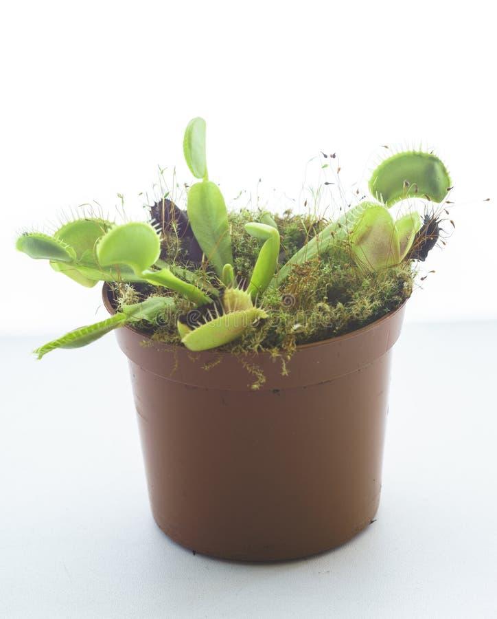 Venus Flytrap despredador en conserva, Dionaea Muscipula fotografía de archivo