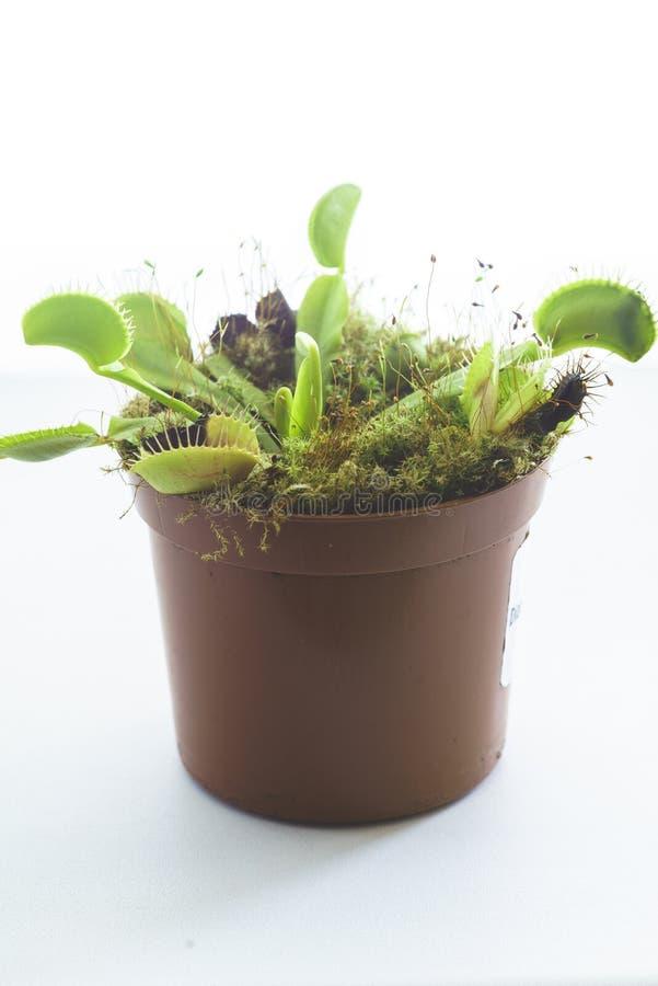 Venus Flytrap despredador en conserva, Dionaea Muscipula imagen de archivo libre de regalías