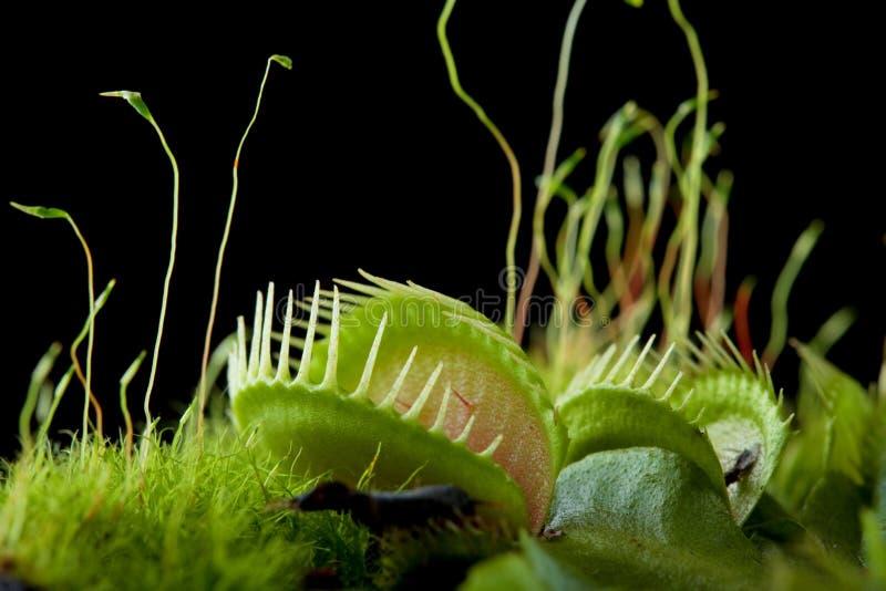 venus flytrap dionaea стоковое фото