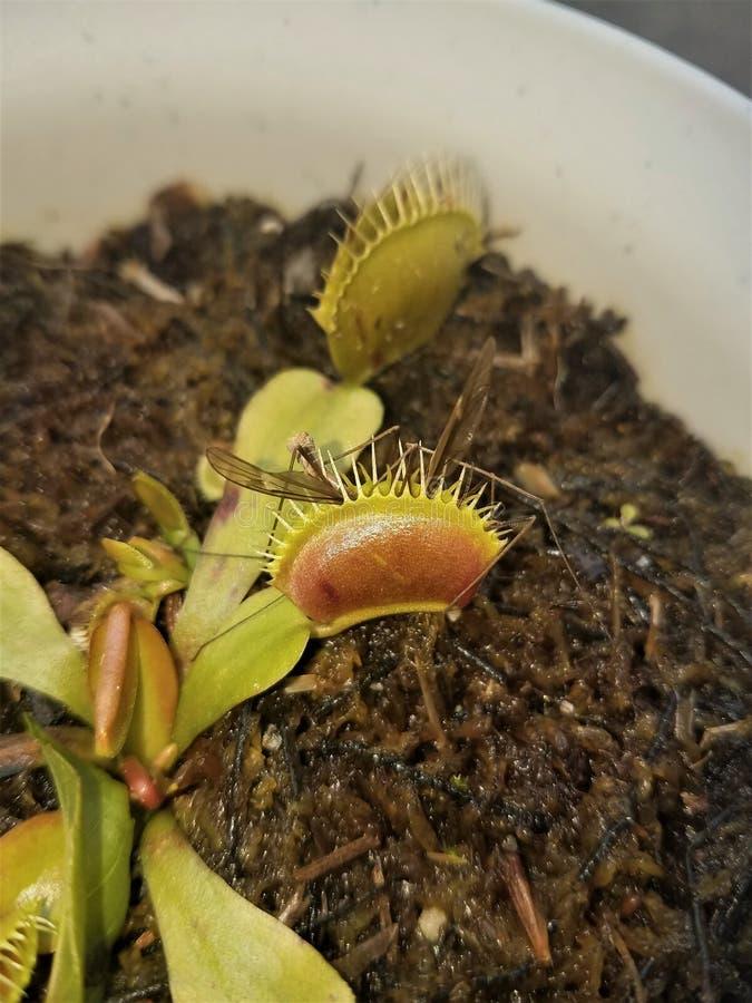 Venus Flytrap Dionea Carnivorous Plant sluit Insect op stock afbeeldingen