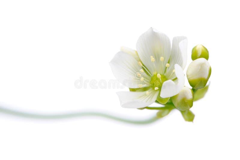 Venus Flytrap Flower med knoppar på vit bakgrund arkivbild