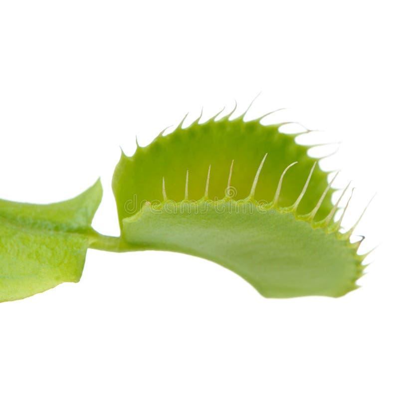 Venus Flytrap Leaf Trap på vit bakgrund fotografering för bildbyråer