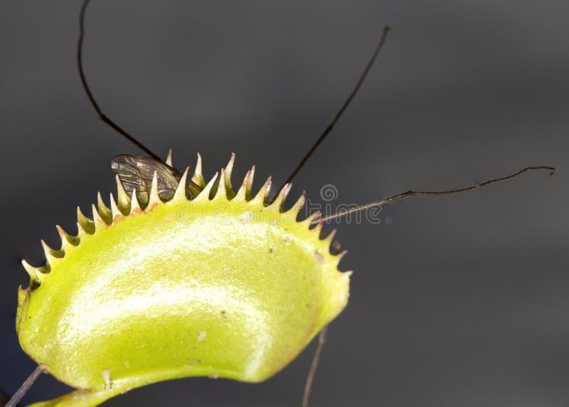 Venus Flytrap met Opgesloten insect royalty-vrije stock fotografie