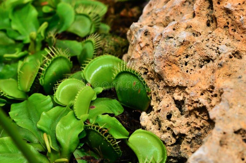 Venus Flytrap o planta carnívora imagen de archivo