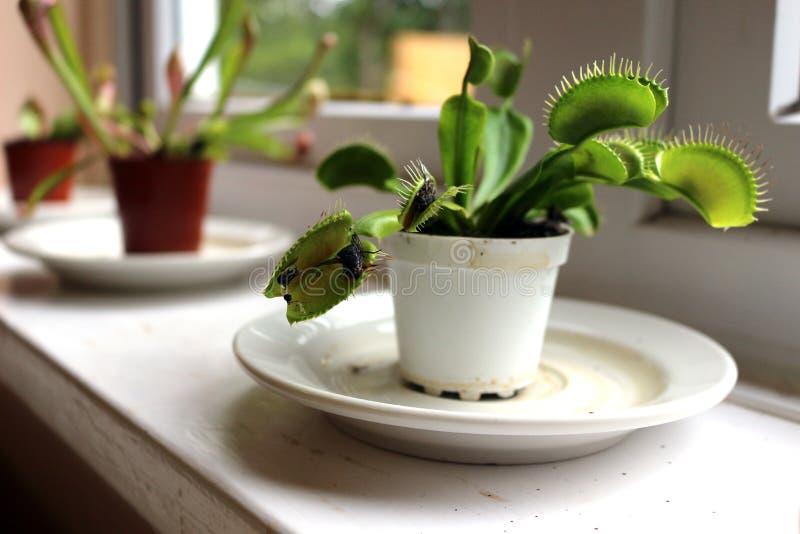 Venus flytrap plant royalty free stock photo
