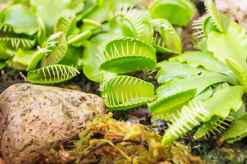 Venus Flytrap (planta carnívora) fotos de archivo