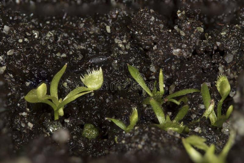 Venus Flytrap Seedlings royalty-vrije stock afbeelding