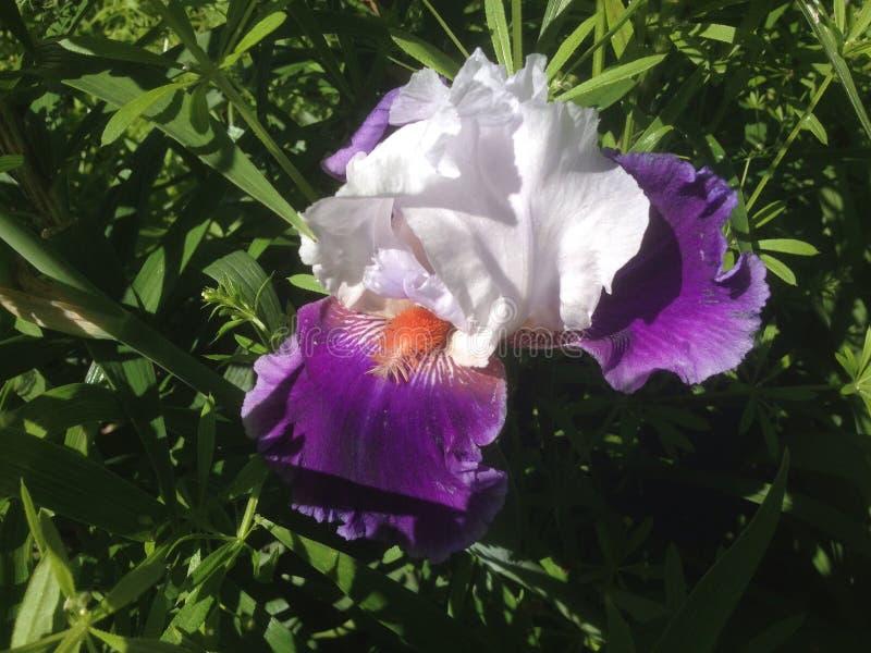 Venus Iris på våren royaltyfri foto