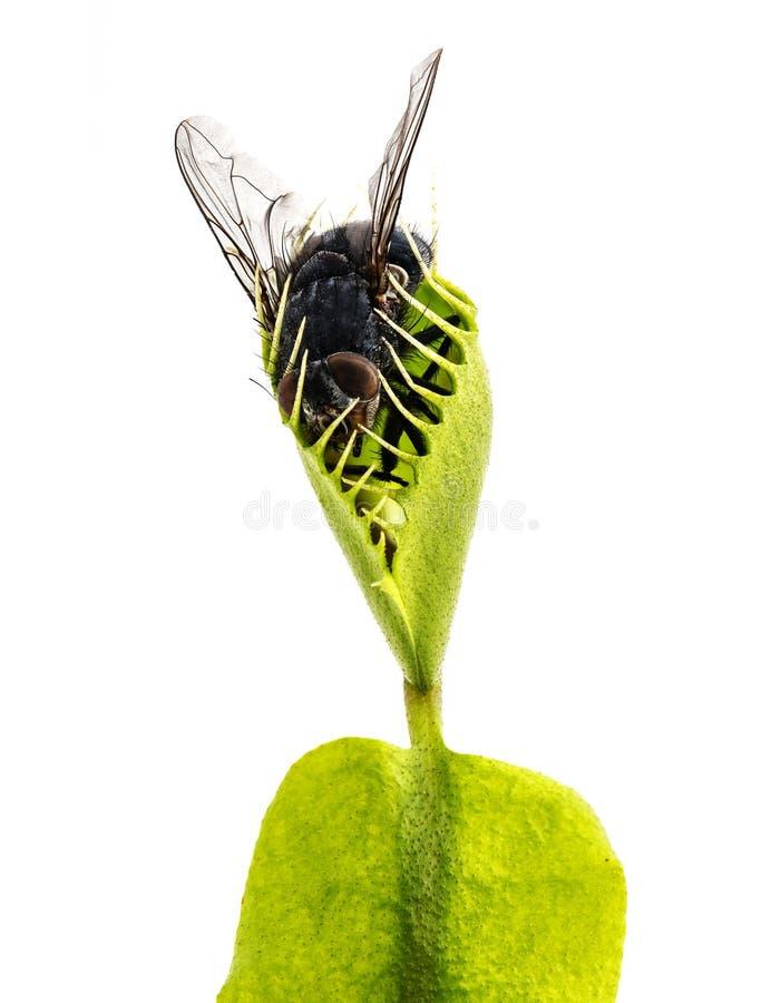 venus muscipula flytrap dionaea стоковые изображения rf
