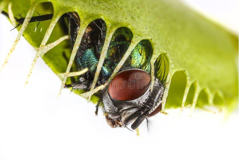 venus muscipula flytrap dionaea стоковое фото