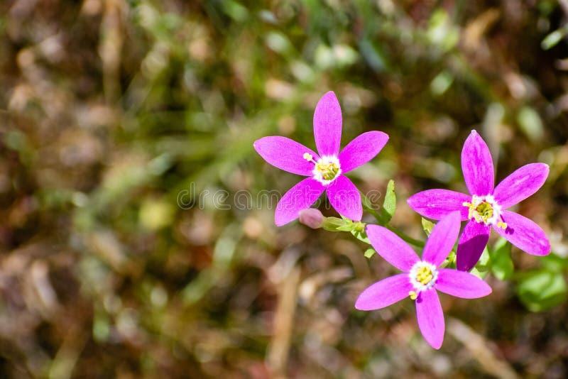 Venusta Canchalagua Zeltnera Wildflowers, die in Yosemite Nationalpark, Sierra Nevada -Berge, Kalifornien blühen lizenzfreies stockfoto