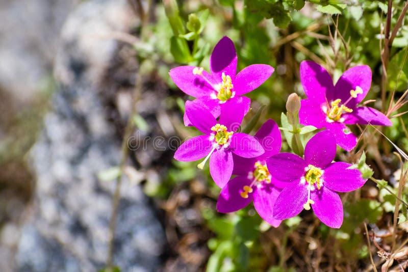 Venusta Canchalagua Zeltnera Wildflowers, die in Yosemite Nationalpark, Sierra Nevada -Berge, Kalifornien blühen lizenzfreie stockbilder