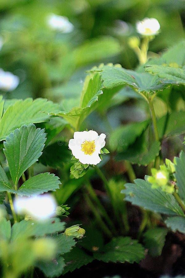 verão branco da cor verde da cor da morango da flor imagens de stock royalty free
