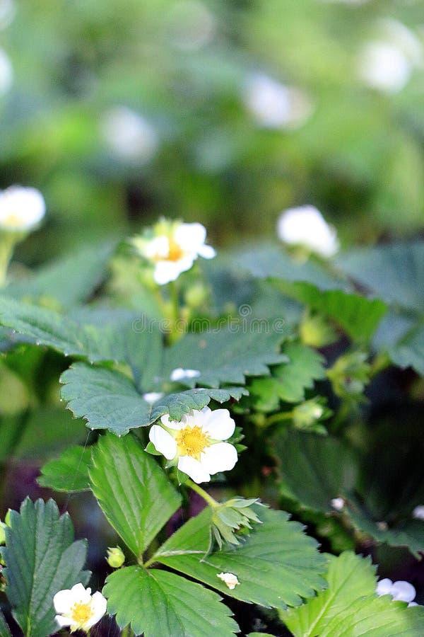 verão branco da cor verde da cor da morango da flor foto de stock