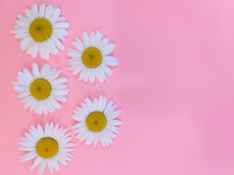 verão branco das margaridas do jardim, floral imagens de stock royalty free