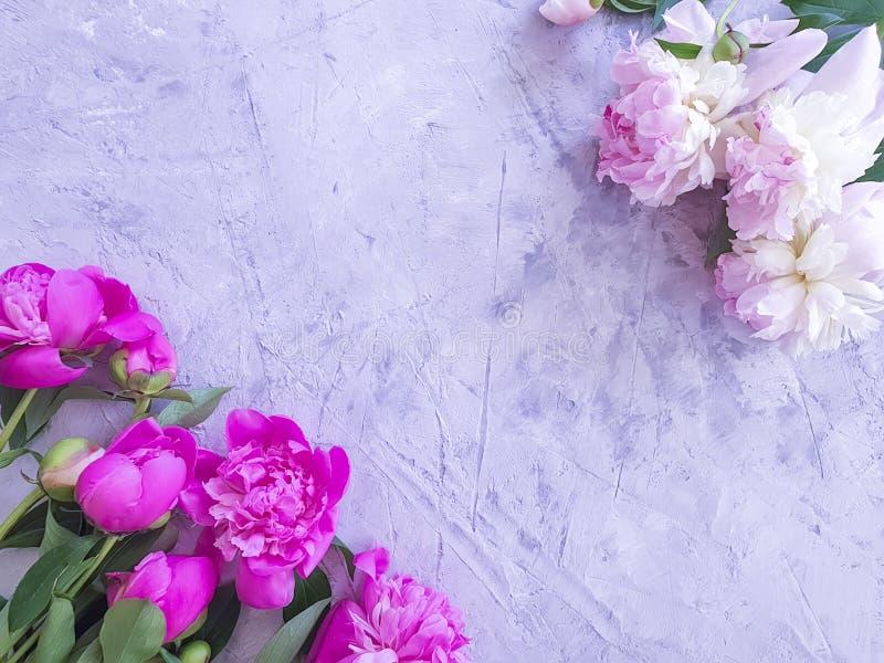 verão fresco das felicitações do quadro da peônia no fundo concreto cinzento imagem de stock
