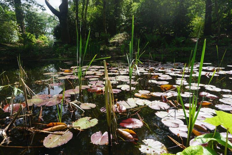 verão meados de protegido da lagoa da floresta fotos de stock