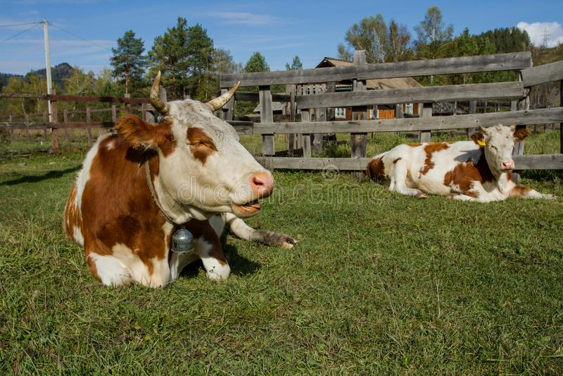 verão na vila Vacas manchadas felizes imagens de stock royalty free