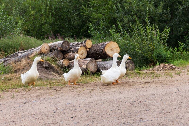 verão os gansos brancos pastam perto da estrada fotos de stock