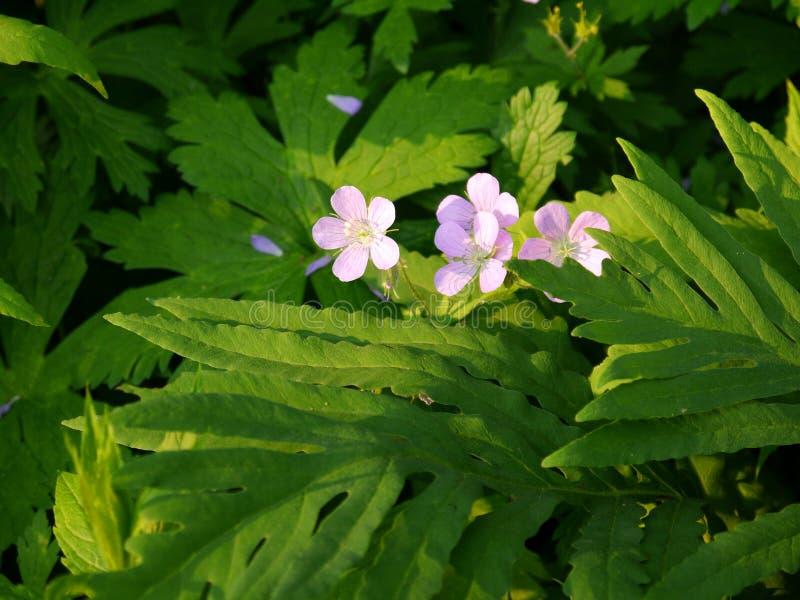 Verão: wildflowers cor-de-rosa sunlit da candelária - h fotos de stock royalty free