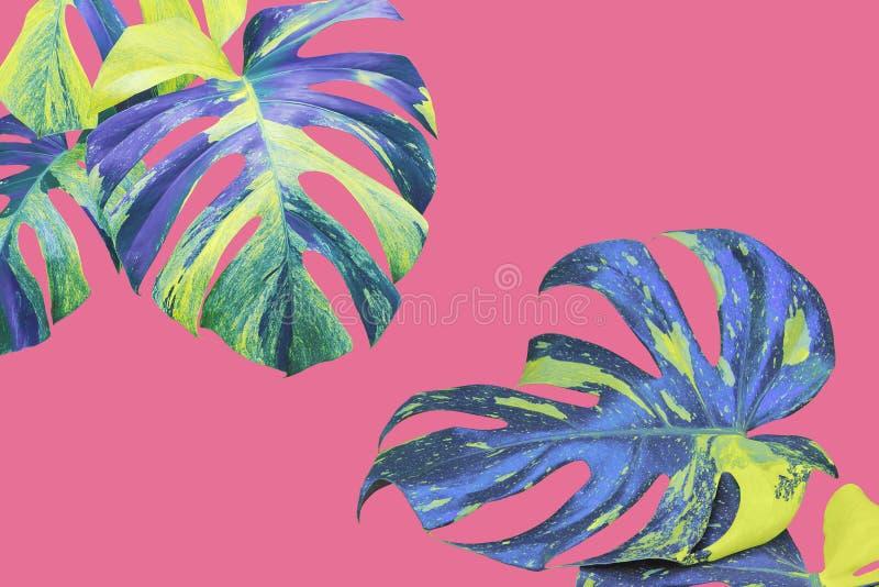 Veränderte Blätter von Monstera, aufgeteilte Blatt Philodendron-Anlage in gelber blauer Tone Color auf rosa Hintergrund lizenzfreies stockbild