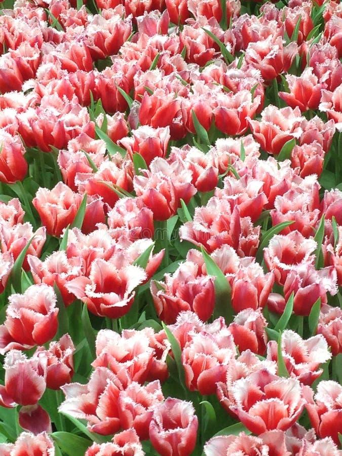 Veränderte rote und weiße Tulpen stockfotografie