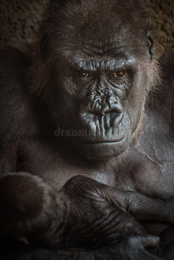 Verärgert-aussehender Gorilla mit einem Baby lizenzfreie stockbilder