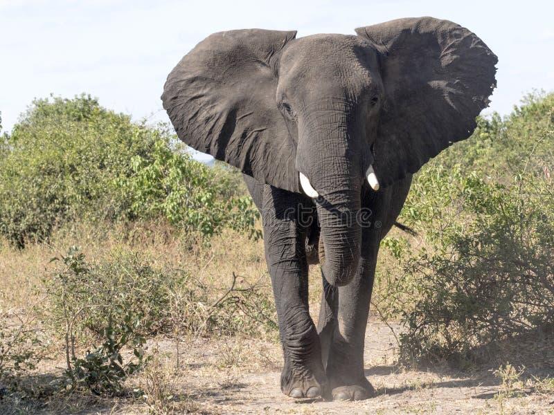Verärgerter, afrikanischer Elefant, Loxodonta africana, Nationalpark Chobe, Botswana lizenzfreies stockfoto