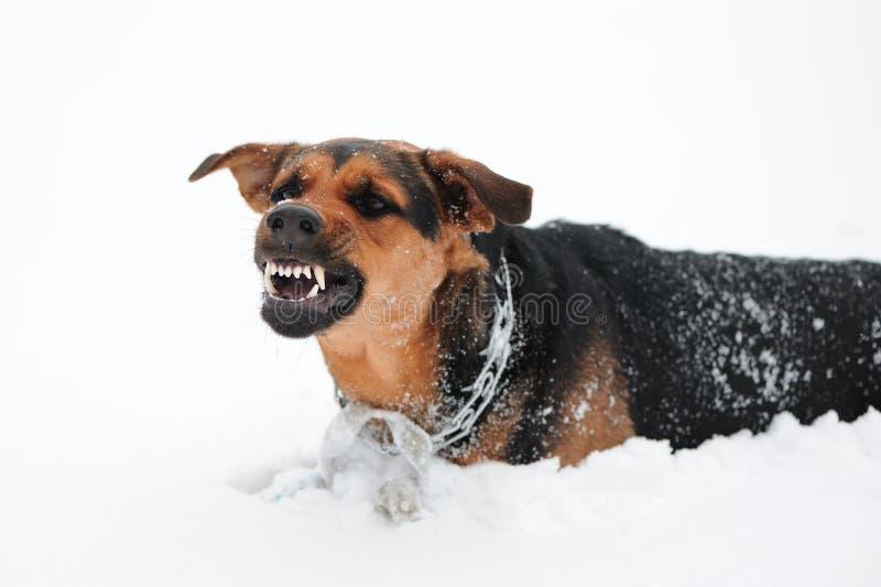 Verärgerter Hund mit den blanken Zähnen lizenzfreie stockfotos