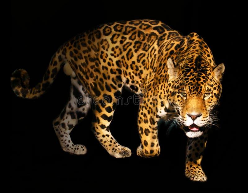 Verärgerter Leopard