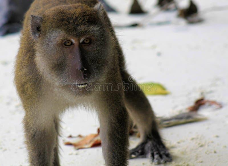 Verärgertes Affekrabbe-essen langschwänziger Makaken, Macaca fascicularis auf weißem Sandstrand lizenzfreies stockbild