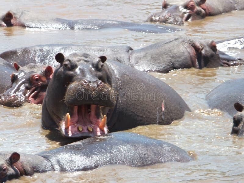Verärgertes Flusspferd stockbilder