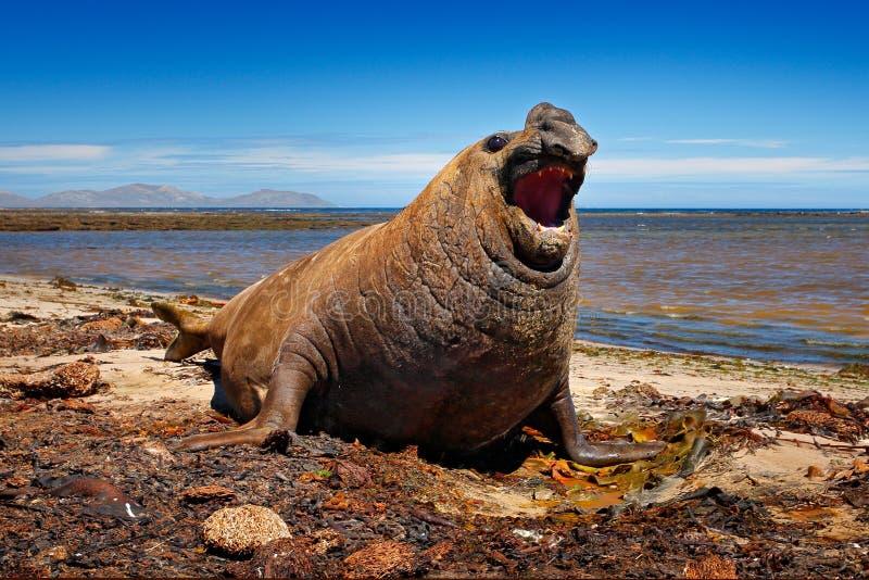 Verärgertes Gefahrentier Mann des Seelefanten liegend im Wasserteich, dunkelblauer Himmel, Falkland Islands Szene der wild lebend stockfotografie