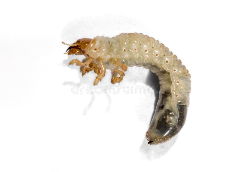 Ver blanc de scarabée d'isolement sur le fond blanc Larve du scarabée de mai photos stock
