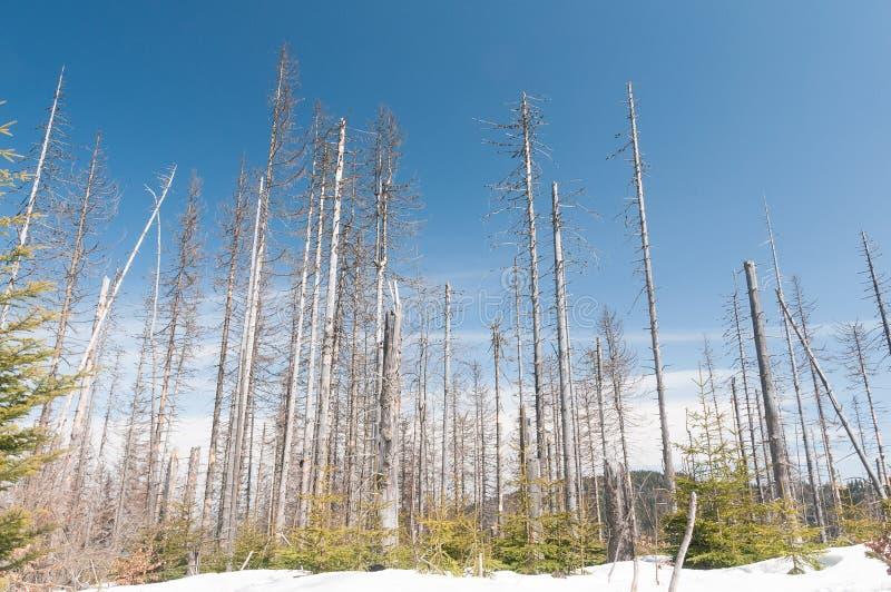 Ver de bois dans l'attaque photos libres de droits