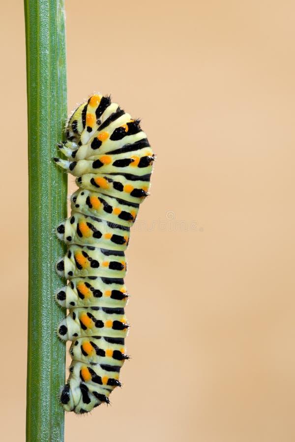 Ver de papillon de Macaron sur la branche images libres de droits