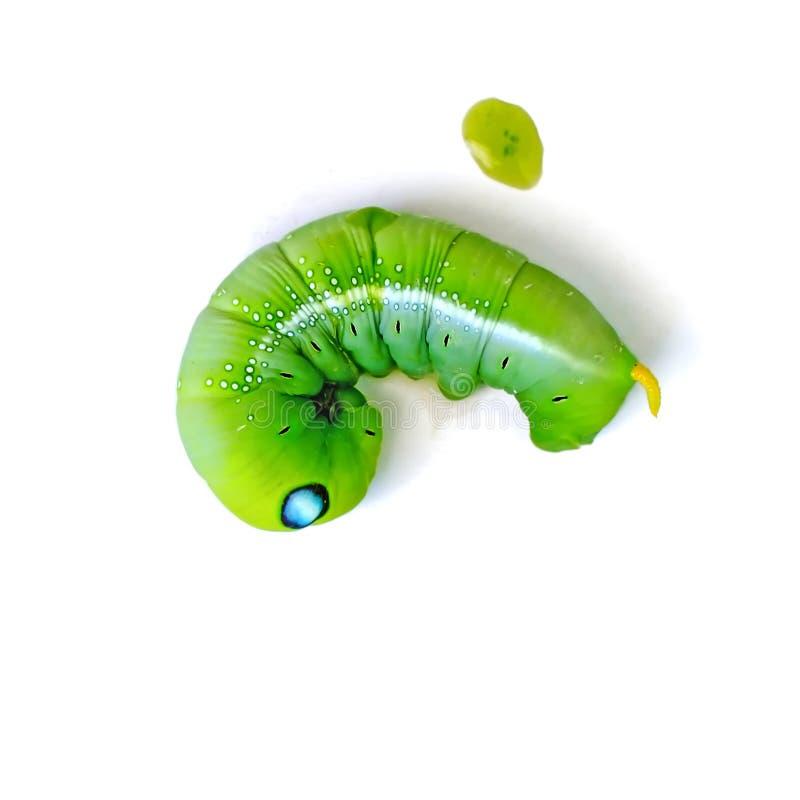 Ver ou feuille vert de papillon mangeant la chenille photo stock